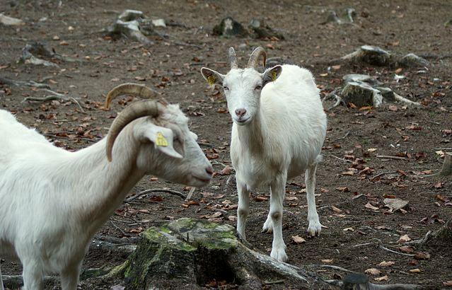 Goat Ambassadors at Kaja & Grom