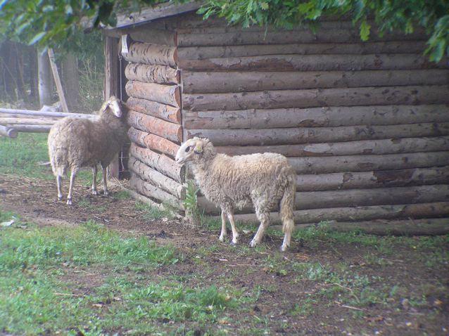 Sheep Ambassadors at Kaja & Grom
