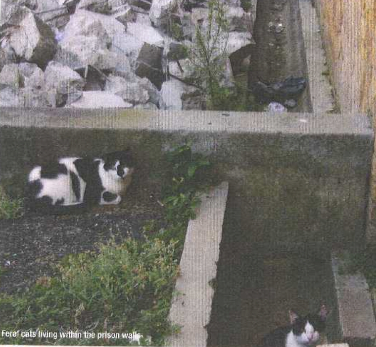Feral cats living within the prison walls
