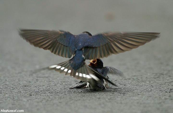 The male swallow brings the female food and attends to her with love and compassion